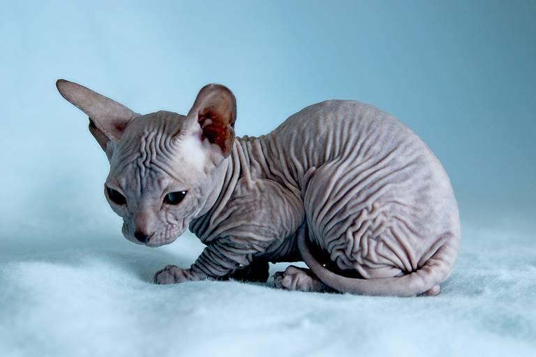 Лысые кошки вызывают аллергию у