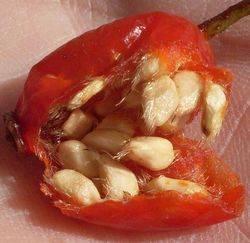 Семена и мякоть шиповника