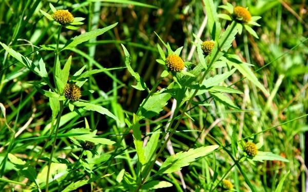 Череда – это ещё одно лекарственное растение, обладающее широким спектром действия
