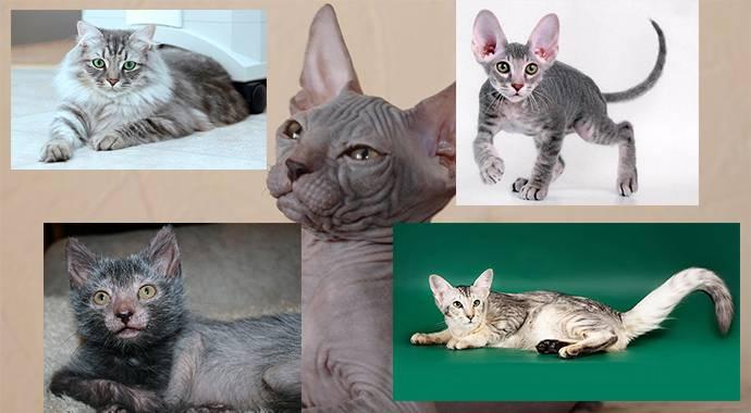 породы гипоаллергенных кошек