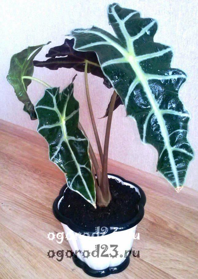 комнатные растения, которые нельзя держать дома – фото и названия 5