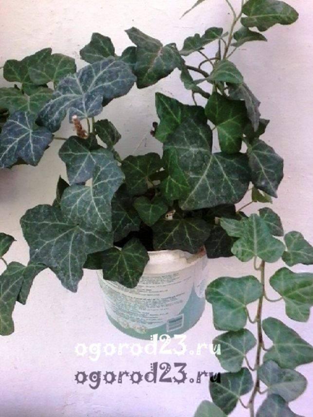 комнатные растения, которые нельзя держать дома – фото и названия 8