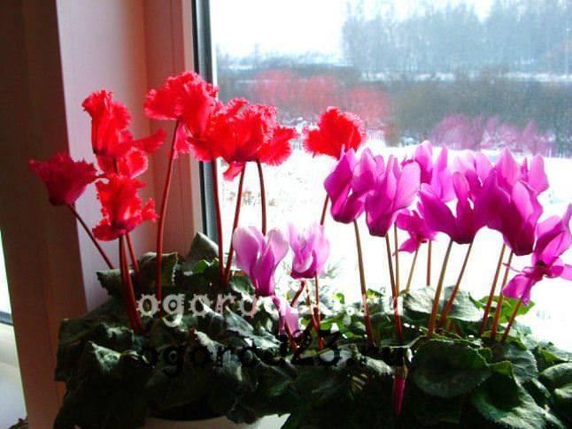 комнатные растения, которые нельзя держать дома – фото и названия 9