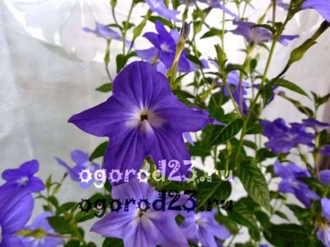комнатные растения, которые нельзя держать дома – фото и названия 12