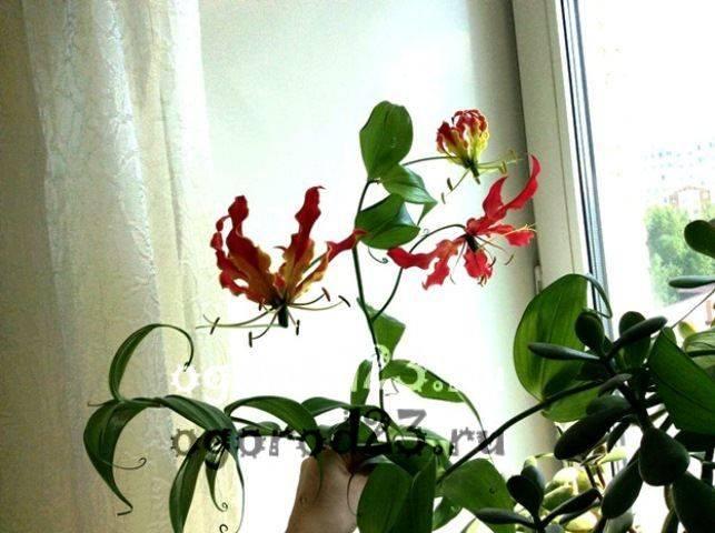 комнатные растения, которые нельзя держать дома – фото и названия 15