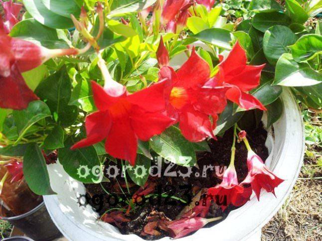 комнатные растения, которые нельзя держать дома – фото и названия 18