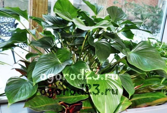комнатные растения, которые нельзя держать дома – фото и названия 20