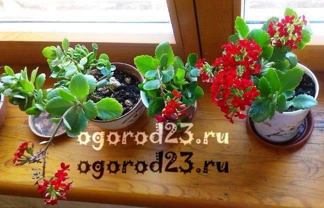 комнатные растения, которые нельзя держать дома – фото и названия 26