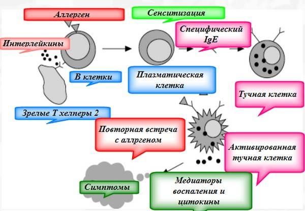 механизм возбуждения аллергии