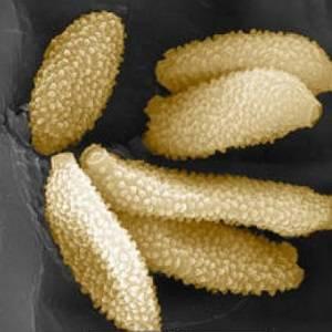 Пыльца орхидеи под микроскопом