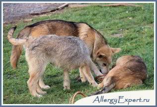 аллергия на собачью шерсть симптомы