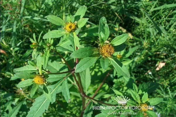 Фото-растения-череда