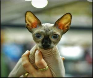 Аллергия на шерсть на лысых кошках