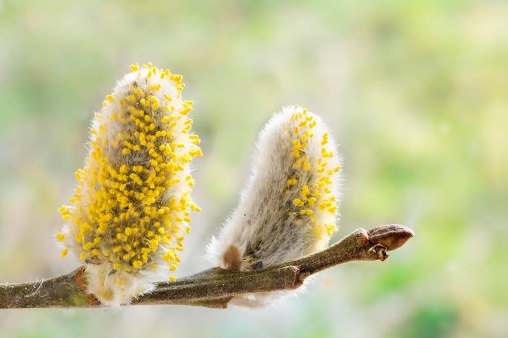 какие растения вызывают аллергию, аллергия на пыльцу растений, фото
