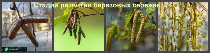 Стадии цветения березы