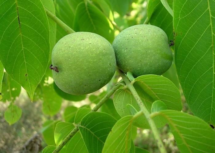 Листья грецкого ореха от глистов