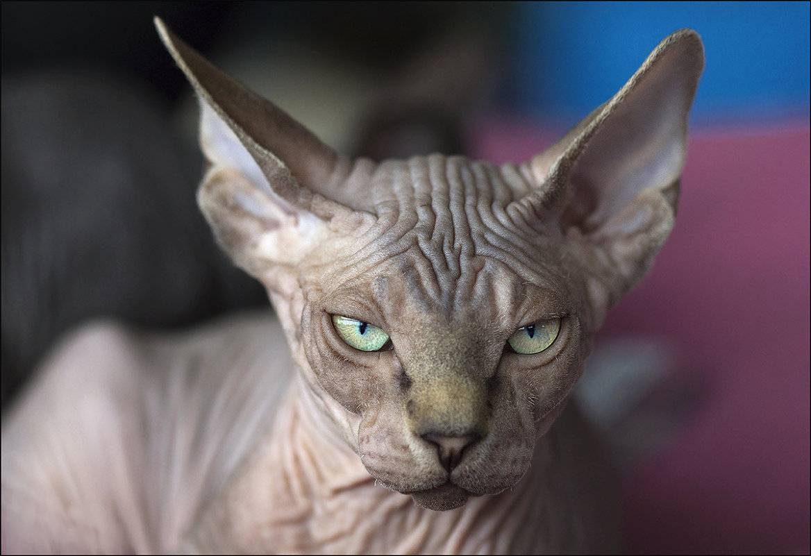 Вызывают ли аллергию кошки сфинксы