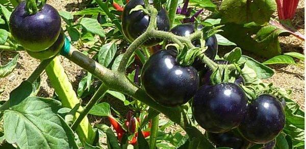 Аллергия на томаты