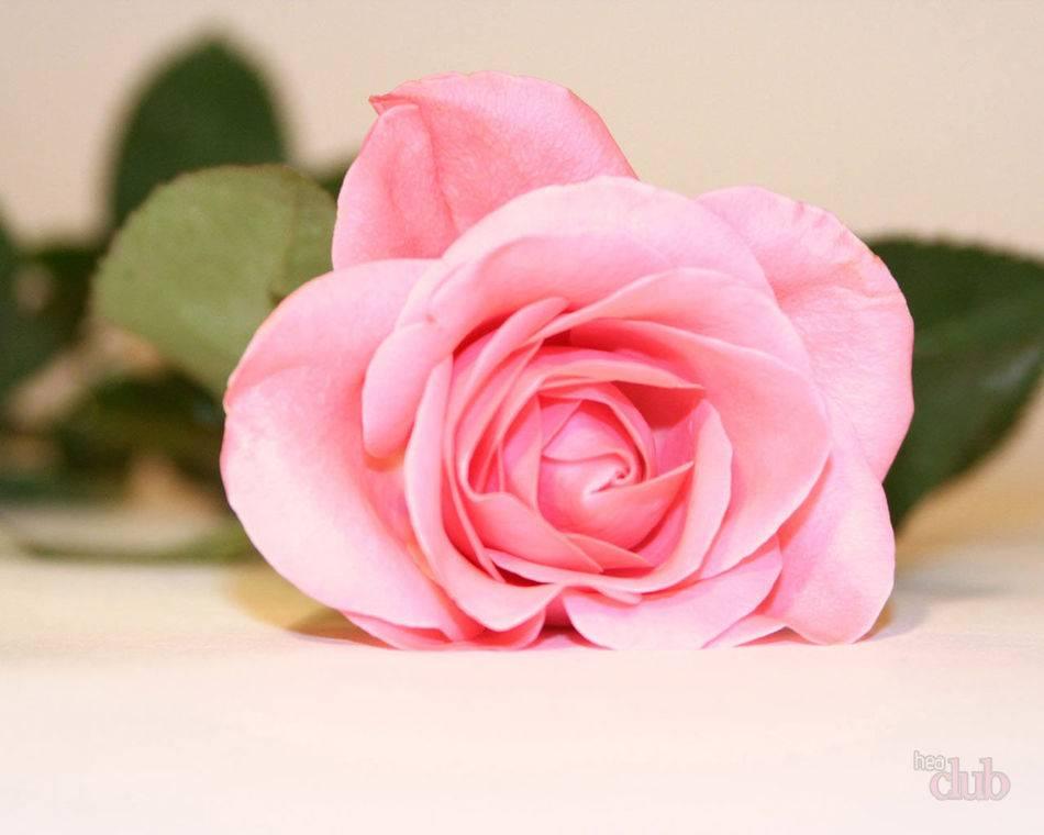 Как из розовых роз сделать воду от зуда в глазах