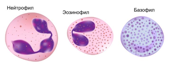 Специфические аллергические клетки крови